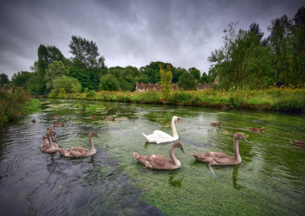 Bibury Swans - England & The Shires
