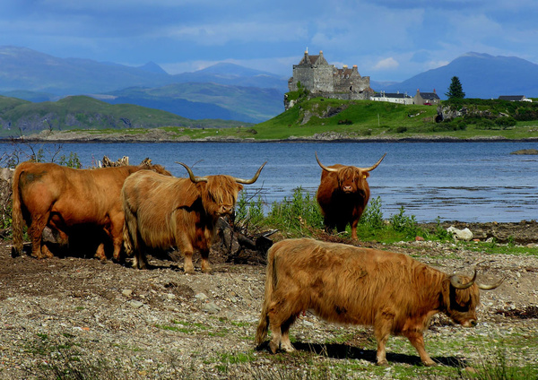 Highland Cows & Duart Castle - Highlands of Scotland