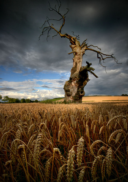 The Old Man of the Corn - England & The Shires
