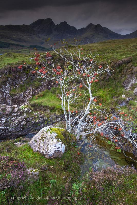 Black Cuillin Rowan Tree 2 - Isle of Skye