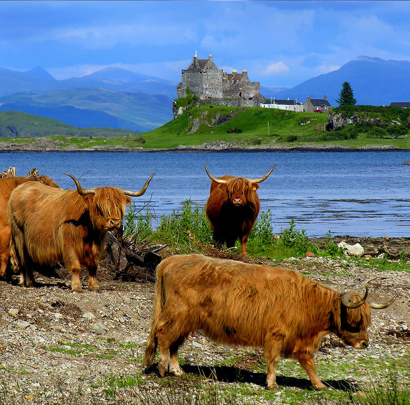 PS076 Highland Cattle and Duart Castle - Scottish Landscapes