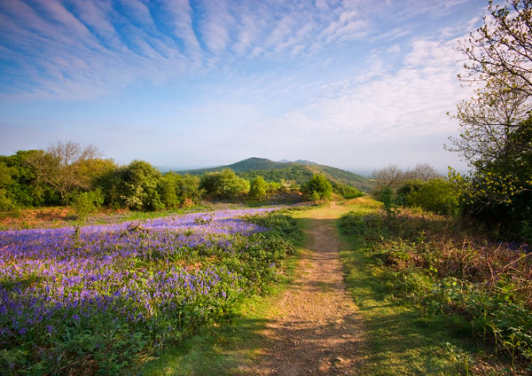 Midsummer Bluebells (L) - The Malvern Hills