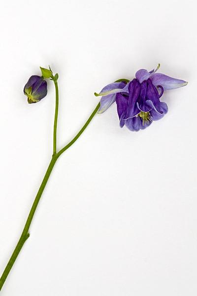 - Flower Studies