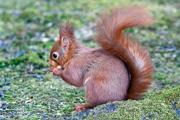 Red Squirrel, Scottish Borders (MG_6209) - Card Sales