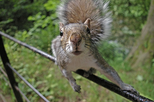 Grey Squirrel - Natural History