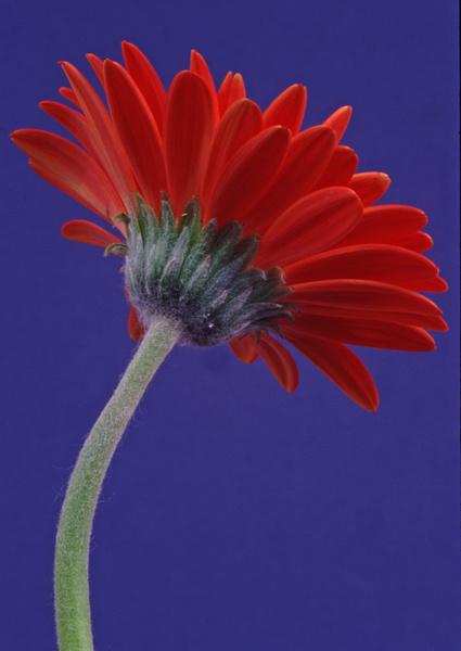 Red Gerbera - Flower Studies