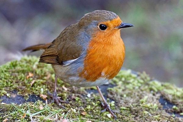 Robin, Lockerbie (MG_6100) - Card Sales