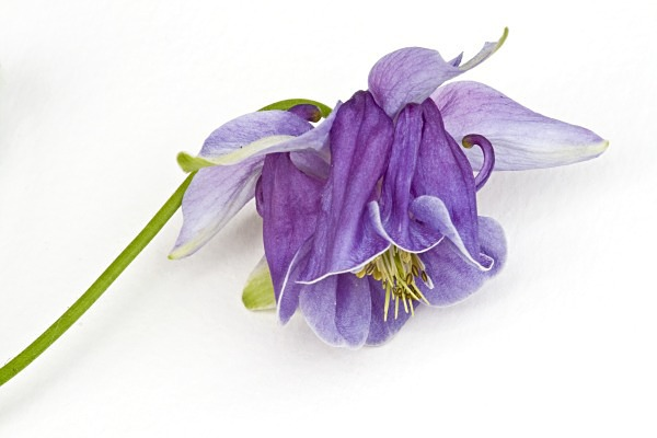 Purple Aquilegia - Card Sales