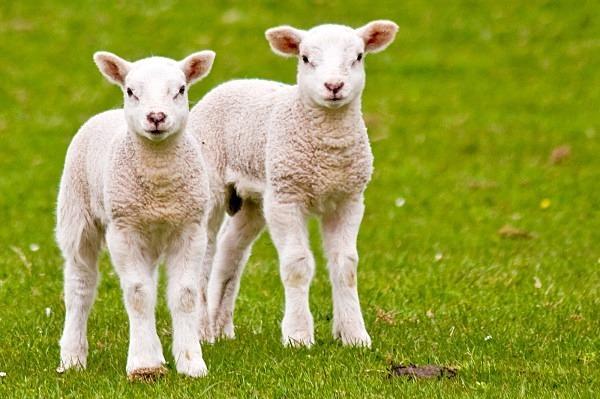 Spring Lambs at Lockerbie (MG_2853) - Card Sales