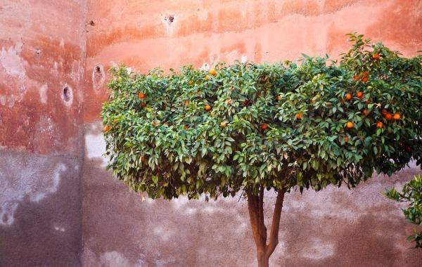 Oranges, Saadian Tombs (6769) - Morocco