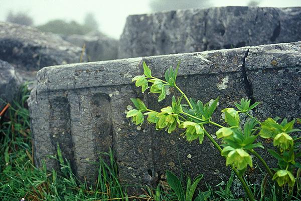 Helleboros cyclophyllos - Χλωρίδα I Flora