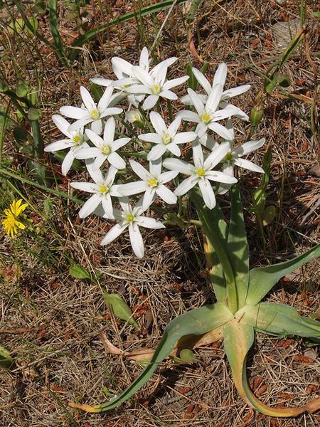 Ornithogalum Atticum - Χλωρίδα I Flora