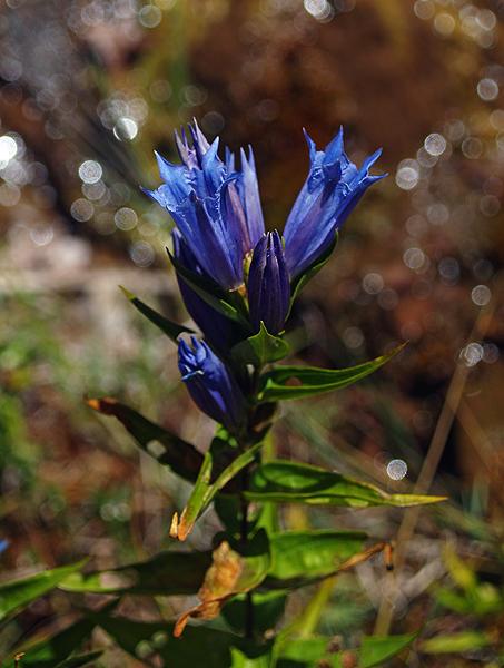 Γεντιανή Ι Gentiana - Χλωρίδα I Flora