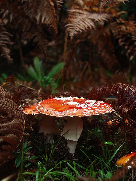 Amanita Muscaria - Χλωρίδα I Flora