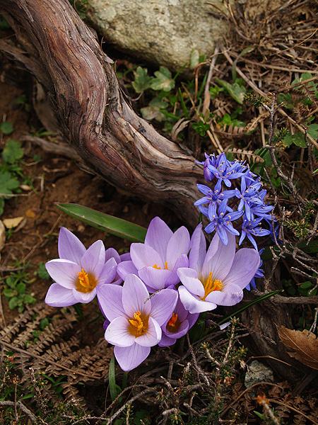Crocus & Scilla - Χλωρίδα I Flora
