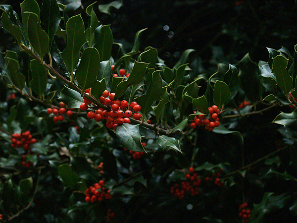 European Holly tree - Χλωρίδα I Flora