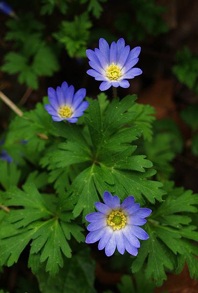 Γαλάζια Ανεμώνη I Anemone Blanda - Χλωρίδα I Flora