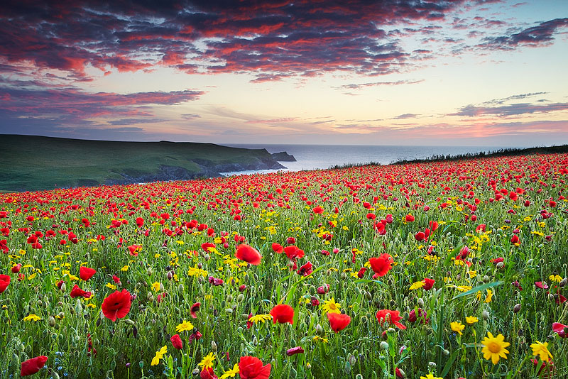 Red Flowers at Night II - Cornwall - North Coast 2