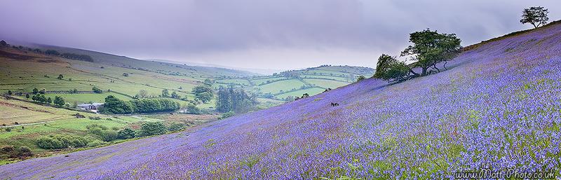Dartmoor Bluebells - Panoramic