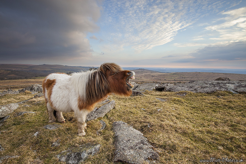 Dartmoor Pony - Dartmoor