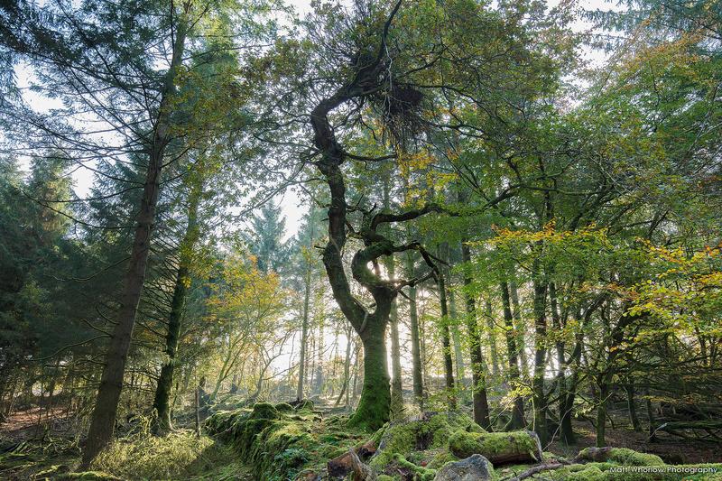 Dartmoor Tree - Dartmoor