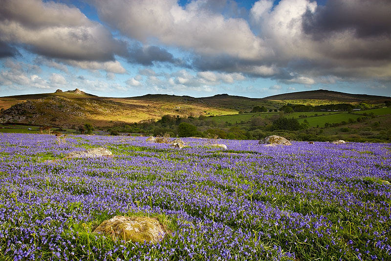 Dartmoor Bluebells - Dartmoor