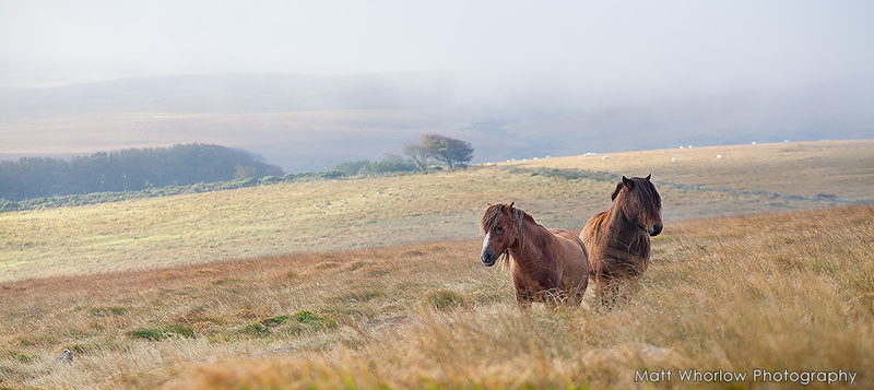 Dartmoor Horses - Panoramic
