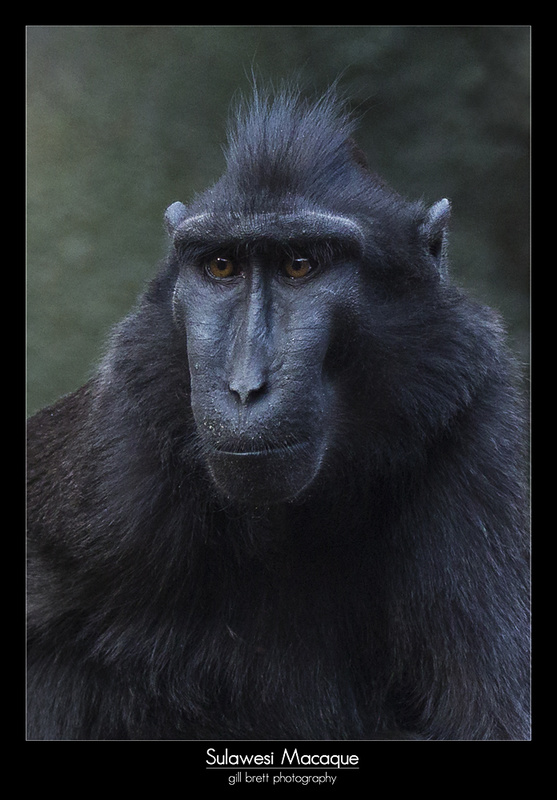 Sulawesi Crested Macaque - Wildlife