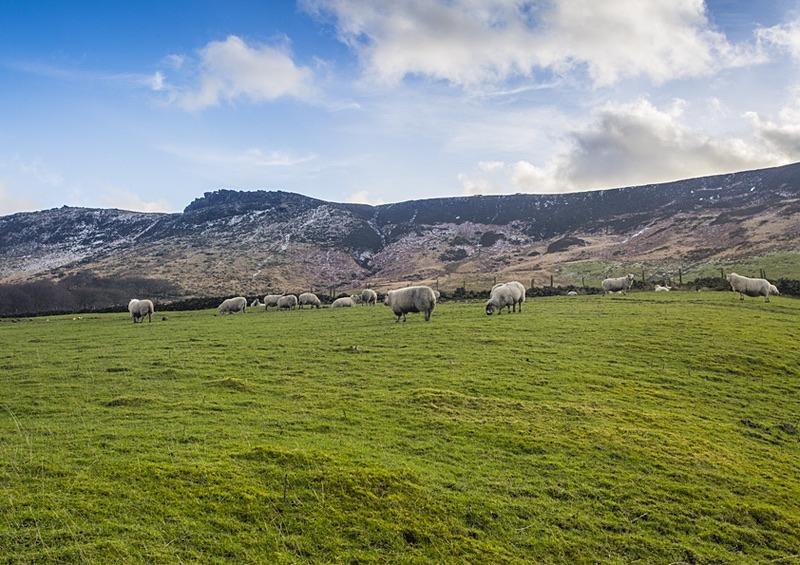 Saddleworth Sheep - Saddleworth