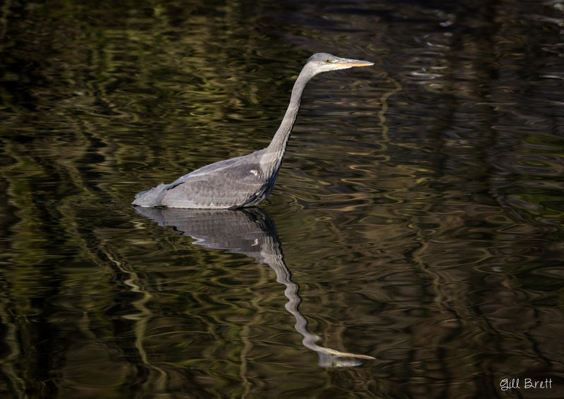 Hunting Heron - Wildlife