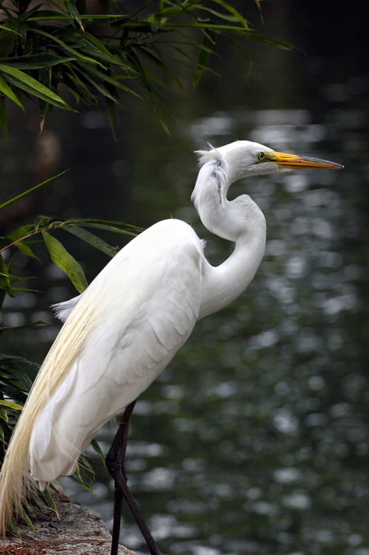 Great Egret - Fauna