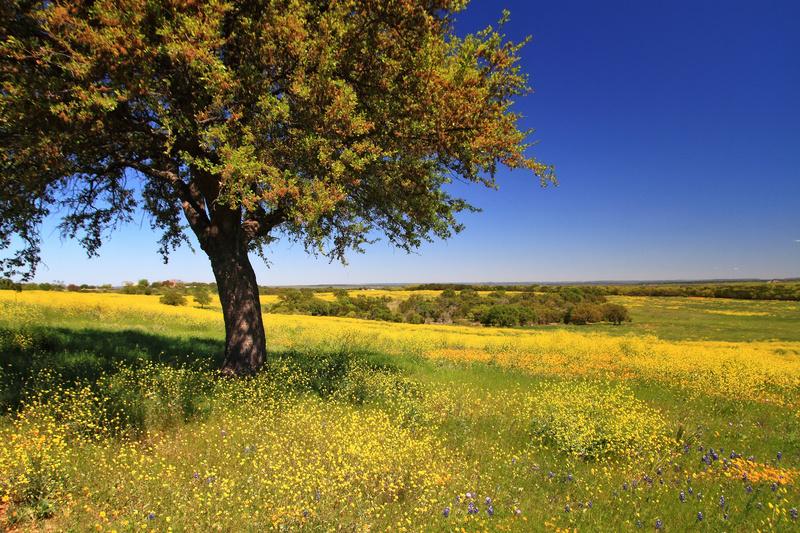 Indian Mustard (Brassica juncea) - Flora