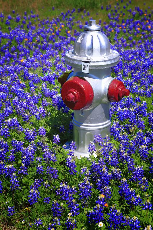 Texas Bluebonnets - Flora
