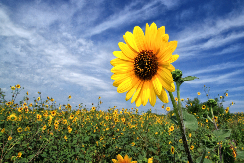 Common Sunflower - Flora