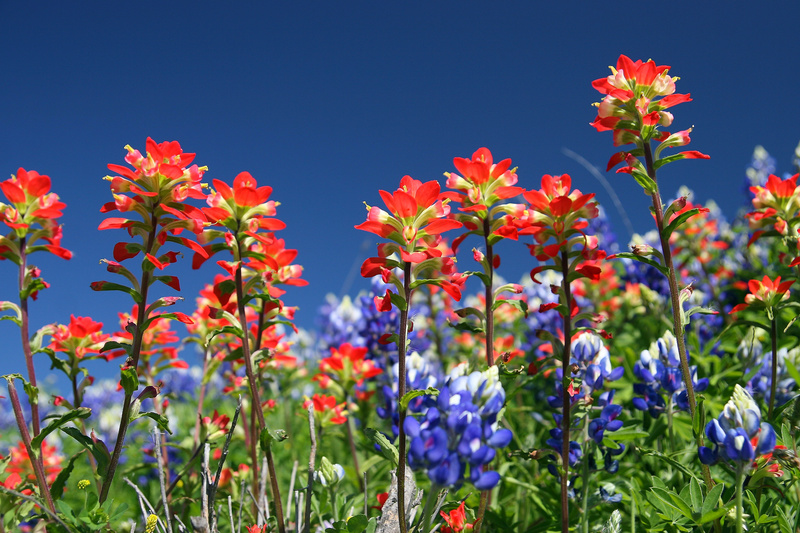 Indian Paintbrush - Flora