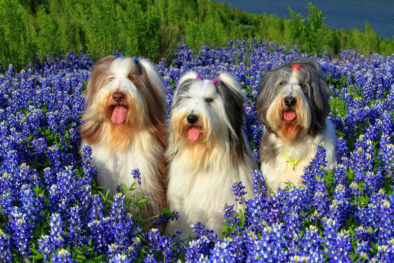 Bearded Collies - Fauna