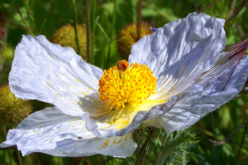 White Prickly Poppy - Flora