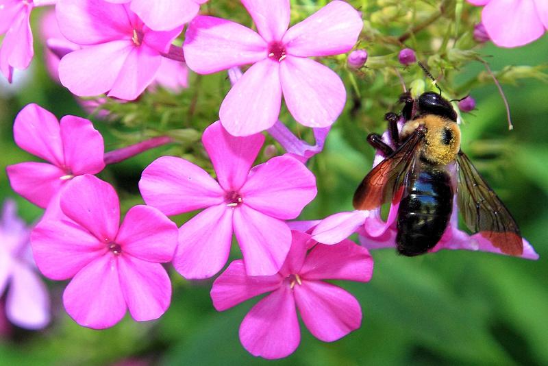 Bumblebee - Fauna