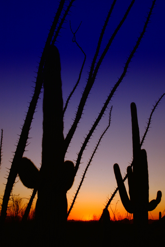 Ocotillo and Saguaro at Sunset - Arizona