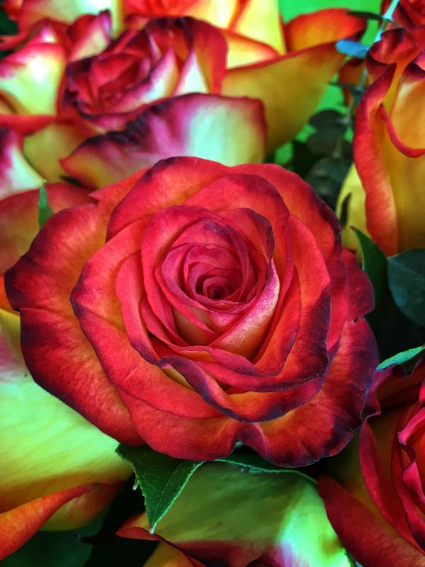 Sunset Glory Rose - Flora