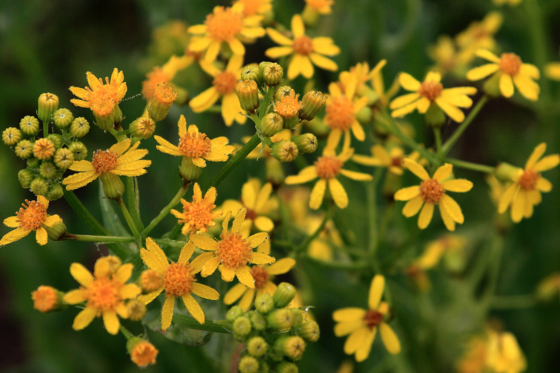Texas Groundsel - Flora