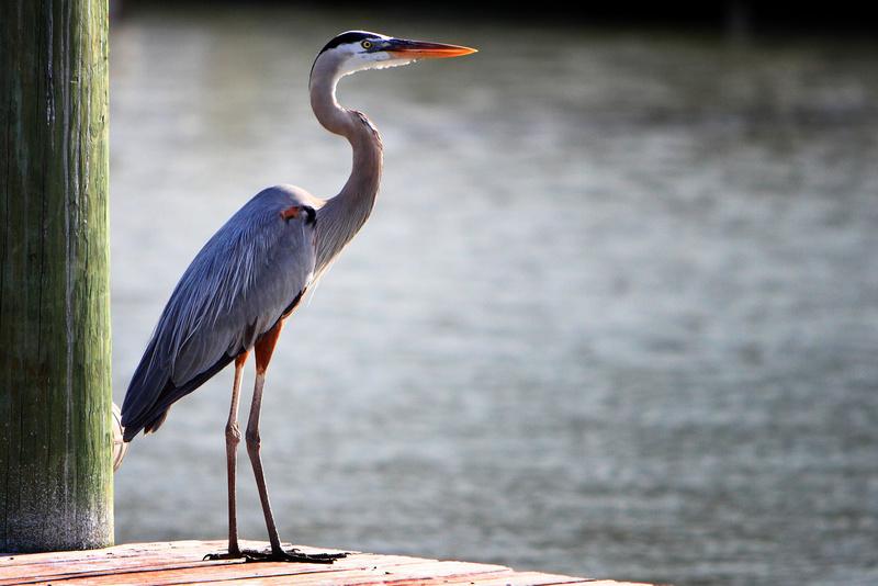 Great Blue Heron - Fauna