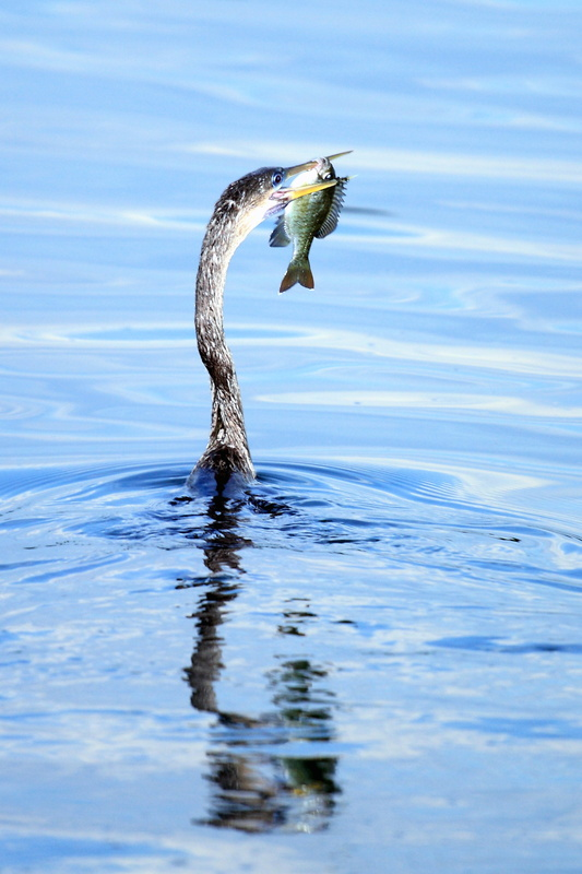 Great Blue Heron and Guadalupe Bass - Fauna