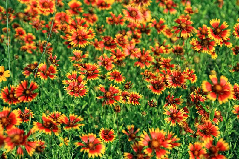 Indian Blanket - Flora