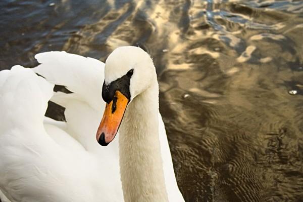 swan bird river severn