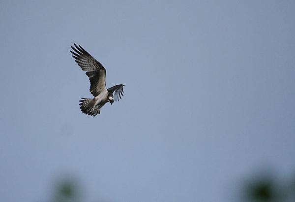 loch of the lowes osprey perthshire scotland osprey sea eagle