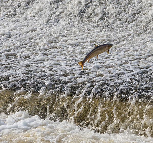 Salmon at Sydney Avenue Weir - A Walk Around Shrewsbury