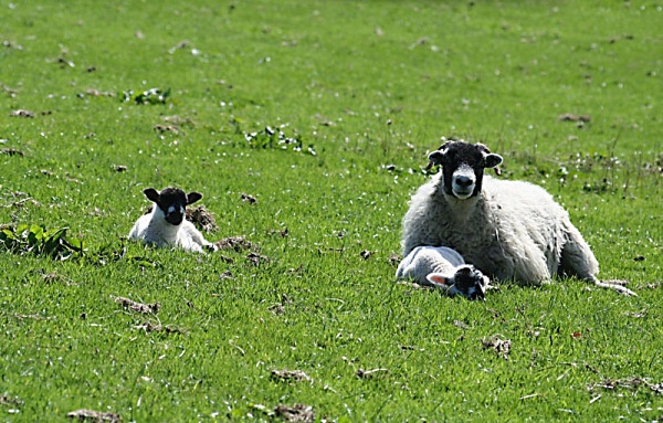 lambs loweswater cumbria