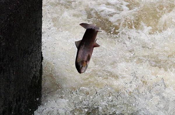 salmon jumping waterfall shrewsbury