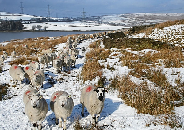 followed by sheep - miscellaneous